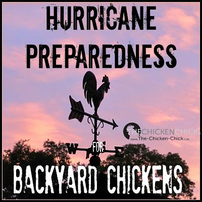 Preparing for hurricanes with backyard chickens.
