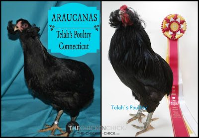 Araucanas are blue egg layers with yellow skin, no tails, no beards and no muffs. Araucanas possess ear tufts, which are feathers that grow from a slender, fleshy flap just below the ear.