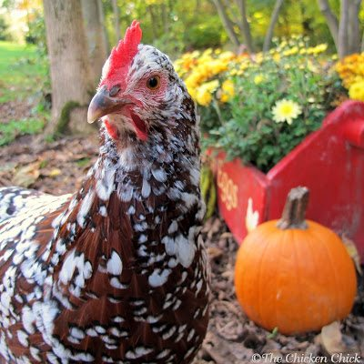 As summer winds down and daylight hours grow shorter, the egg basket will begin to feel a little lighter. A seasonal drop in egg production is an expected, hormone-driven response to decreased light in autumn and winter. Many chicken-keepers encourage egg-laying in the autumn and winter by providing supplemental light in the coop, which is safe and effective.