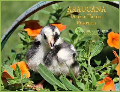 5 day old black Araucana chick via www.The-Chicken-Chick.com