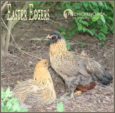 Easter Egger pullets