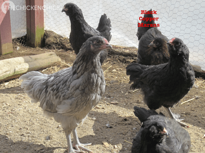Olive Egger adolescents (Black Copper Marans x Ameraucana)
