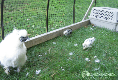 As a maternity ward for mama hen and her chicks: