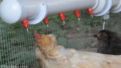 I have found that using a poultry nipple watering system has made drinking much less of an effort for Esther as the water drips into her mouth instead of her having to stoop down, scoop up some in her lower beak and hope that it makes it to the back of her throat when she stands up straight.