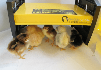The chick on the far left is a Speckled Sussex.