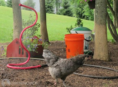 In temps over 90°F, keep a bucket of cool water near the chickens at all times for emergency cooling.