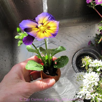 Flowers are inserted into the eggshell, more potting soil & water are added.