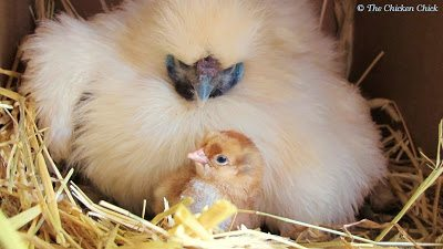 A broody hen is one that is inspired to sit on a collection of eggs until she hatches chicks. It is an instinct, influenced by hormones, that can be triggered by seeing a collection of eggs in a nest, another broody hunkered down in a nest box or the length of daylight hours.