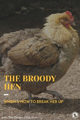 A broody hen is one that is inspired to sit on a nest until she hatches chicks. It is an instinct influenced by hormones and lighting factors that can be triggered by seeing a collection of eggs in a nest or another broody hunkered down in a nest box.