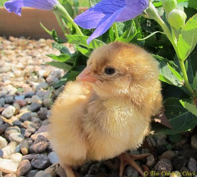 you have more pictures of your chickens on facebook then of your own kids and family.