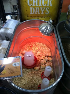 you are banned from the local feed stores until chick season is over!