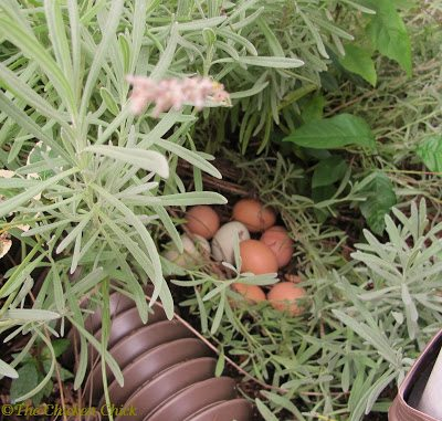 Some free-range chickens will lay their eggs in hidden locations throughout the property, which is undesirable. Coop training gives hens no choice but to lay their eggs in nest boxes.
