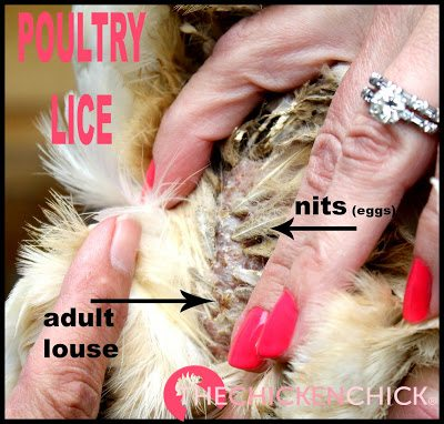 Mites and poultry lice are a natural part of every backyard- they travel on birds, rodents and other animals, so when your chickens become infested, it doesn't mean you're not keeping a clean coop, it simply means your chickens enjoy the Great Outdoors!