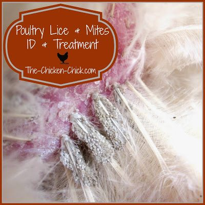 Poultry Lice Treatment Natural