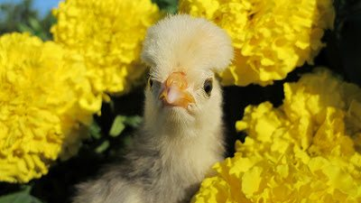 If a picture is worth a thousand words, I present you with my photo essay on chicks.
