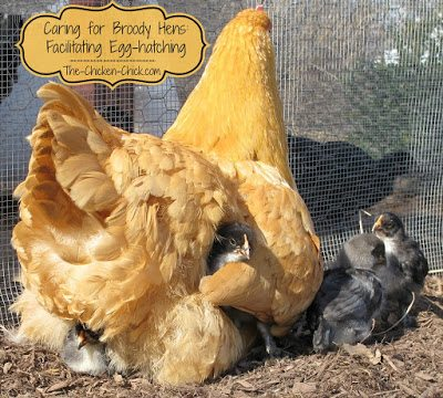 A hen determined to hatch chicks, also known as a broody, will collect a clutch of eggs on which she will sit for 21 days.