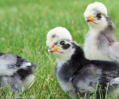 The purpose of this blog series is to share what I know with you about the process. I hope that you will share in a little bit of the anticipation and excitement of hatching chicks and perhaps even give it a try yourself if you haven't already. There are some basic considerations to take into account before delving into hatching, more on that next time.