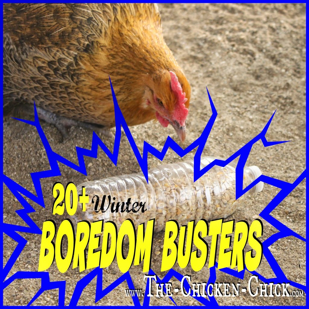 Provide confined flocks with boredom-busting activities to prevent egg-eating.