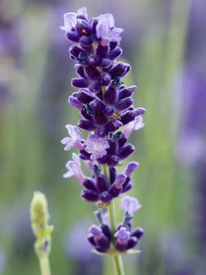 Nancy, author of Livin' in the Green, shows us how to make more lavender plants with just a pocket knife and a rock. So clever!