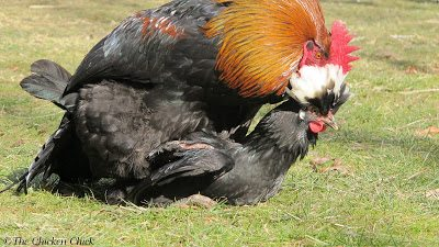 Chicken diapers and saddles | Roosters that over-mate with hens can leave the hens' backs bare.