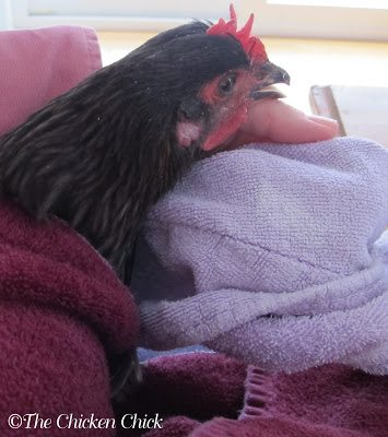 With my one free hand, I set my beak repair supplies on the kitchen table. I then wrapped BB in a large towel, burrito-style, with her wings comfortably but securely at her side and her feet covered. This technique keeps a chicken calm while preventing wing flapping in an attempt to flee and injuries to the caregiver from its toenails. The 'towel burrito' creates a safer environment to treat the bird. A second, smaller towel was draped loosely over BB's eyes, which left her nasal passages (nares) free and kept her still.