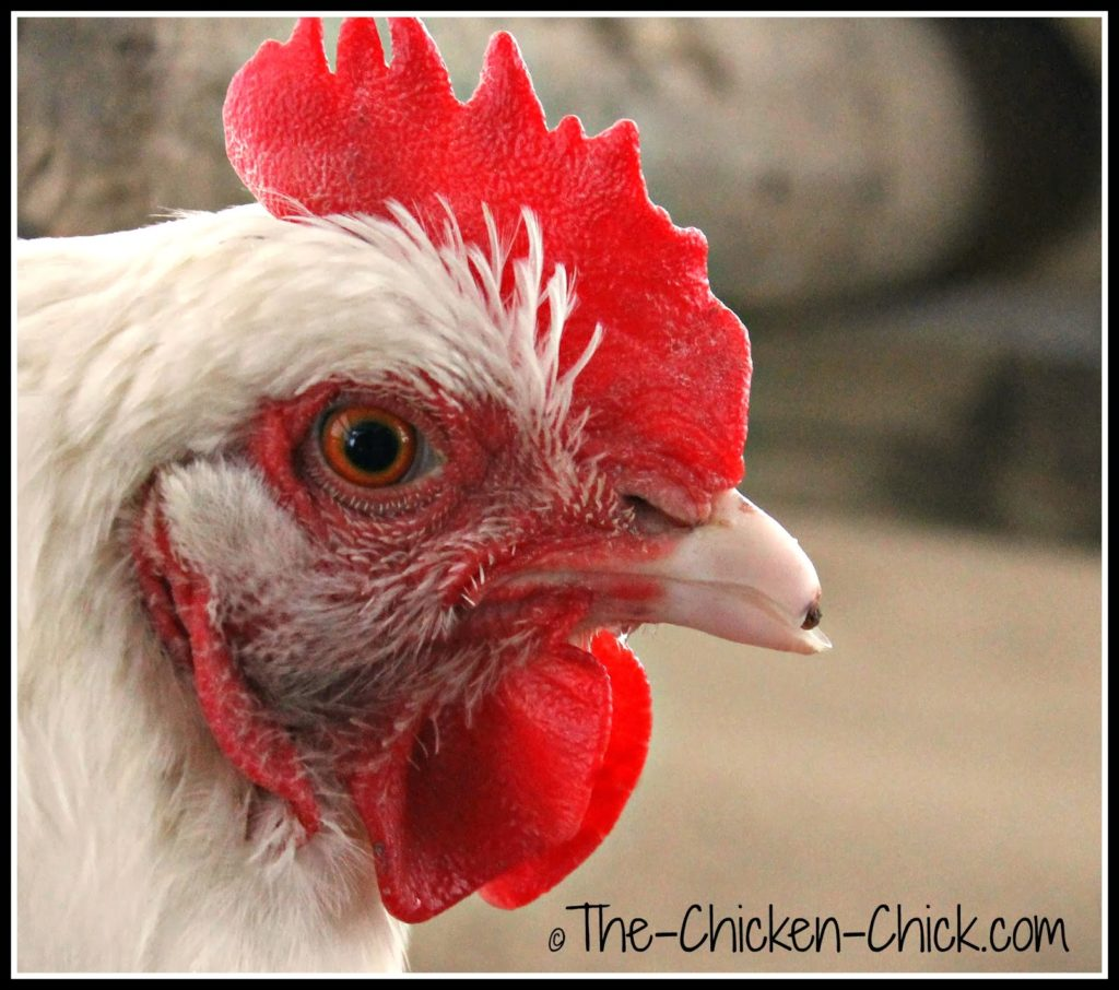 Marilyn Monroe (White Orpington hen) broke the tip of her beak. It will require filing as the outer edges are sharp.