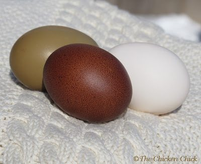 """A pullet's first egg is not always picture-perfect. It will ordinarily be quite small, but subsequent eggs will soon reach """"normal"""" size for her. It can take some time before her reproductive system is working like a well-oiled machine and new layers are capable of some funky looking creations, but before long, she'll be an egg-laying master."""