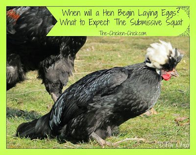 It's understandable that a first-time chicken-keeper may be anxious to know when they can reasonably expect to see the first egg in the nest box from their new flock. The following are general guidelines for what to watch for and how to help prepare a chicken to lay her first egg.