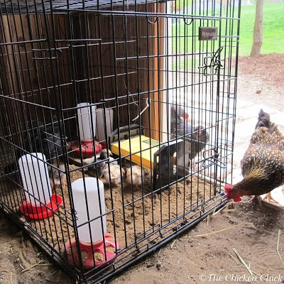 If older flock members are already living in the coop, it's best to wait until the chicks are closer in size to the mature birds before beginning the process of integration into the flock. Smaller birds can be seriously hurt by normal pecking-order behavior from older, bigger birds.
