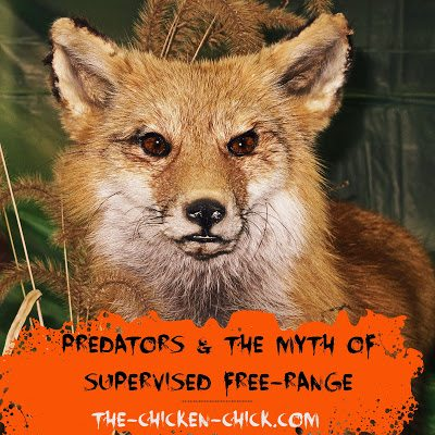Chickens, predators & the myth of supervised free-range.