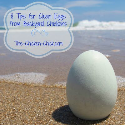 Keeping backyard chickens should mean that their eggs are fresher, more nutritious and safer to eat than commercially produced eggs, but that will not be the case if eggs are allowed to be contaminated before they even reach the kitchen. Keeping eggs clean in the nest box is a critical step in egg safety and it's not difficult to achieve.
