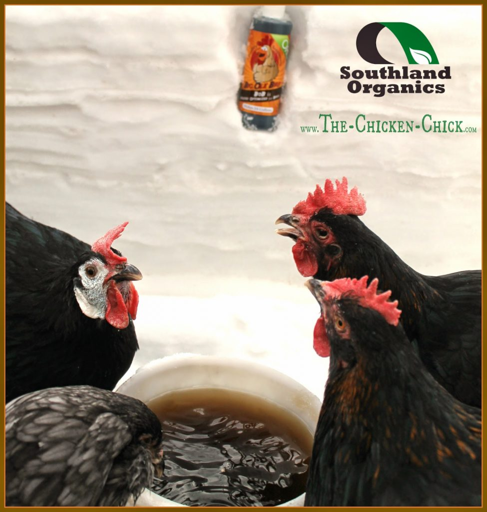 Probiotics are live, nonpathogenic bacteria that contribute to the health and balance of the intestinal tract. These good bacteria can strengthen the immune system and help chickens digest food more efficiently, helping them stay healthy and grow better.