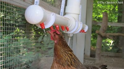 A poultry nipple watering system keeps water free from roden droppings.