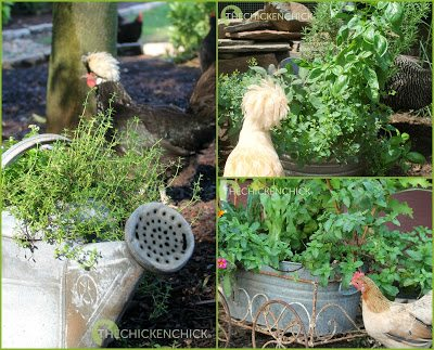 While planting herbs around the coop makes for lovely landscaping, herbs like lavender, mint and rosemary do not repel flies, mosquitoes, mites or lice.