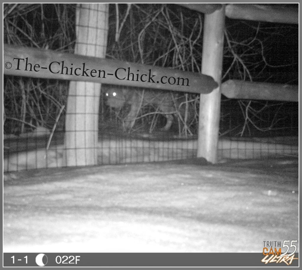 Knowing the type of predators and how they operate enables one to plan predator-specific defenses. A trail cam with night vision provides excellent reconnaissance as to predator types and patterns of behavior.