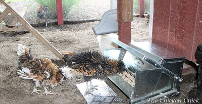 My chickens have been using Grandpa's feeders for three weeks now and every one of them, from the heaviest to the lightest bird is comfortable using it.