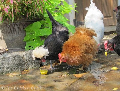 To say that my chickens were a little leery of this new treat would be an understatement, but that's par for the course with chickens- they just need a little time to become comfortable with any new situation. I placed the serving bowl in the stream of cold, running water from the garden hose in order to cool their feet as they enjoyed their snack. The serving bowl acted more like take-out window, however, as they promptly removed the EggPops, dropping them on the ground.