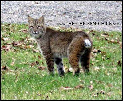 Bobcat via The Chicken Chick®
