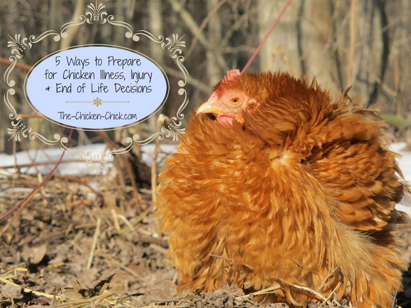 Most of us spend a great deal of time preparing for the arrival of our first chickens, but few of us give much thought to how we would handle serious injuries, illnesses and end-of-life decisions until they are upon us. My recent experience with a dying chicken made me realize that I could have been better prepared to handle certain aspects of her fatal illness, which make an already difficult time, more stressful. My hope is that by sharing my experience that you will be prepared to face the toughest part of chicken-keeping when the time comes.