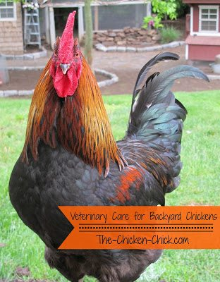 After Having Had Three Extremely Ill Chickens In Urgent Need Of Medical  Care Recently, It