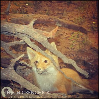 Red fox via The Chicken Chick®
