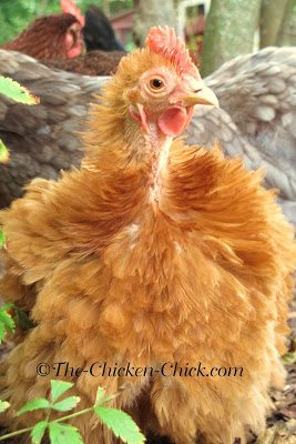 With molting season in full-swing, it's time to make a few adjustments to help the flockers get through it a little more easily. Molting occurs in response to decreased light as summer ends and winter approaches. During a molt, chickens lose their feathers and grow new ones.