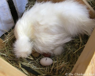 A CB's hatching eggs should be marked clearly with a permanent marker or pencil and re-marked if the marks wear off. Marking the eggs makes it clear at a glance which eggs in the nest are hatching eggs and which were recently laid by other hens. Eggs should be collected from the coop at least once a day to remove freshly laid eggs. Check underneath a CB daily for freshly laid eggs. If she is especially ornery, collect them after dark using a flashlight.