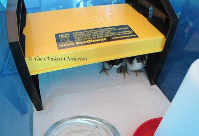 Brooder with EcoGlow radiant heater instead of a dangerous heat lamp.