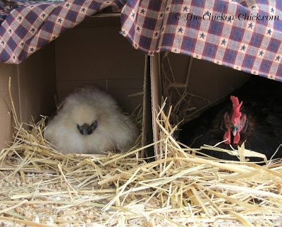 Freida and Mabel hatched in tandem nest boxes on the floor inside a dog kennel for 3 weeks, they went on to raise the chicks together as one big family.