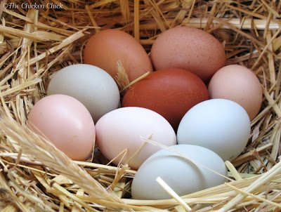 A hen can manage to cover and keep warm approximately 12 eggs proportionate to her size, meaning: if she is a bantam, it is reasonable to expect that she can care for 12 bantam sized eggs, fewer if the eggs are from a larger hen. If the broody is a large fowl breed, she can handle 12-15 eggs of the size she would ordinarily lay, more if they are bantam eggs.