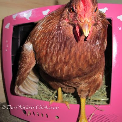 Vera (Red Sex Link pullet) is a big fan of CHICK TV.