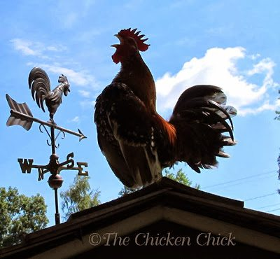 On a different note, when Brutus' necropsy report came back with Pasturella/poultry cholera as the cause of death, it raised more questions about the implications of bacterial infection for my flock and backyard flocks in general, so I turned to Dr. Petrick for insight on bacterial infections in backyard flocks.
