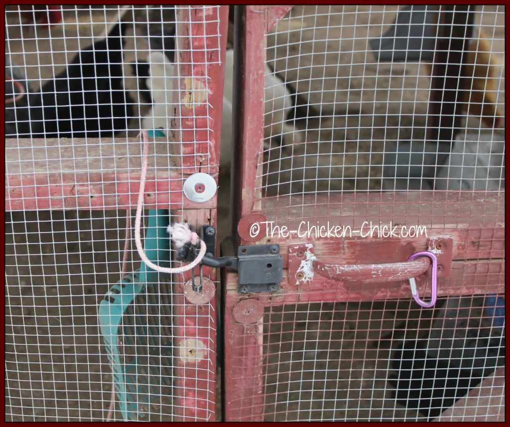 Always have an escape plan from inside the chicken coop and run. If there is any way to get locked inside, it will happen when it is least convenient. The pink rope on the latch to this run door opens the latch from inside the chicken run.