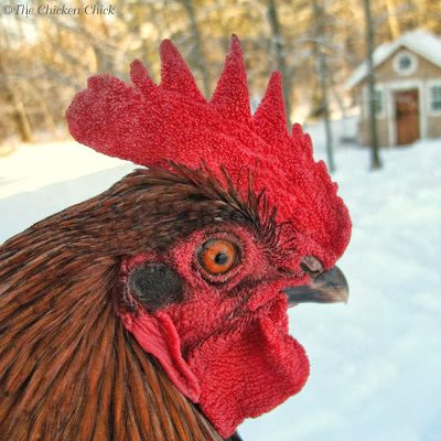 If you cripple the immune system, the bacteria get a leg up, and a situation that would normally not result in sickness can become dangerous, especially if the stress is longer term, such a cold weather, introduction of new members of the flock, constant harassment by a predator outside the coop.